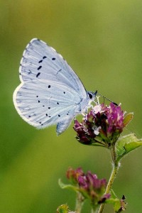 Holly Blue (Photo: David Dennis Butterfly Conservation)