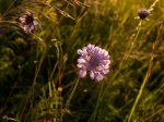 Field Scabious Photo by Richard Russell