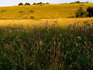 Martin Down chalk grassland meadow